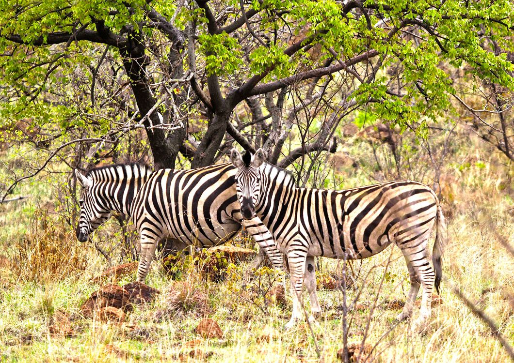 zebras in the the south african savannah