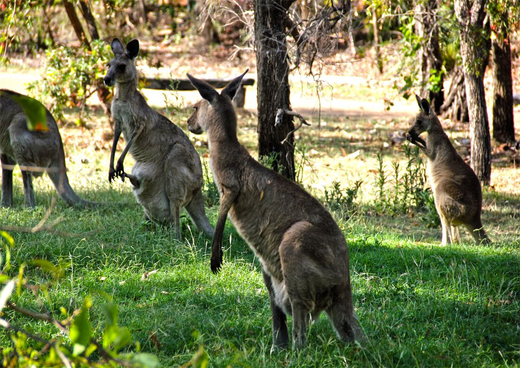 kangaroo in australia queensland paradise tour