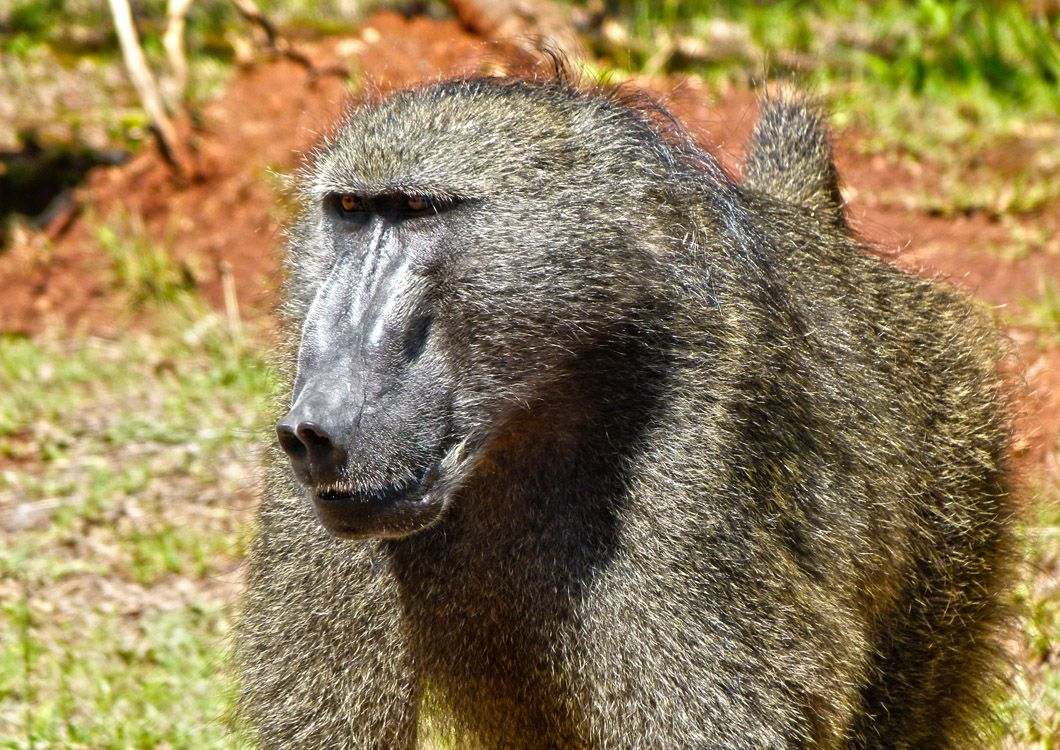 baboon monkey in south africa big five tour