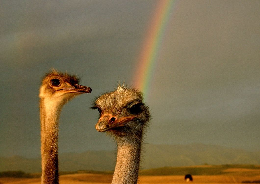 ostrich with a rainbow in the back ground south africa