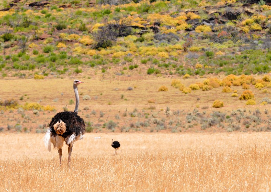 ostrich in the south african savannah